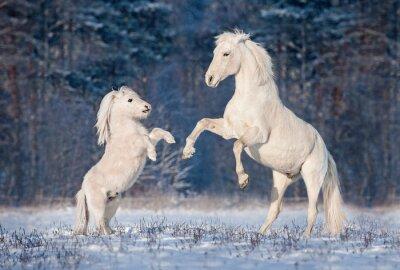 Póster Hermoso blanco andaluz semental jugando con pequeño pony shetland en invierno