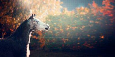 Póster Hermoso caballo árabe con cabeza blanca sobre fondo de naturaleza maravillosa