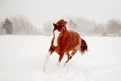Póster Hermoso caballo castaño corriendo en el campo de nieve libre