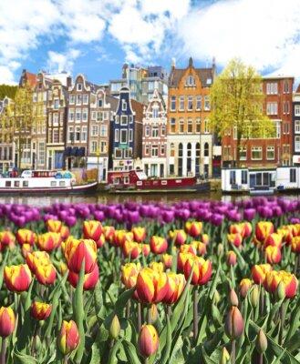 Póster Hermoso paisaje con los tulipanes y casas en Amsterdam, Holanda