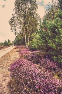 Póster Hermoso paisaje de bosque con brezo en flor por el camino rural