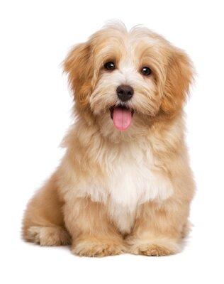 Póster Hermoso perro feliz perrito havanese rojizo está sentada frontal