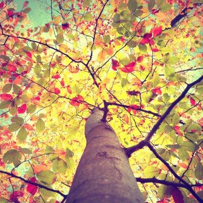 Póster Hermoso sol de temporada de cosecha de otoño que brilla a través del colorido árbol de hojas de haya. Buscar en Agenda para la copa de los árboles de sol de otoño.
