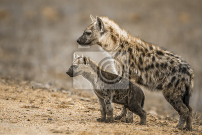 Hiena manchada en el Parque Nacional Kruger, Sudáfrica