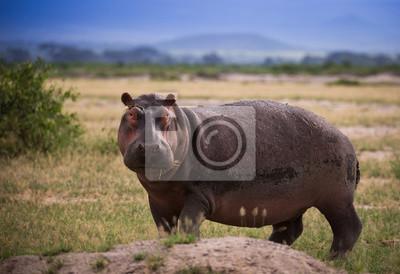 Hipopótamo en la sabana africana