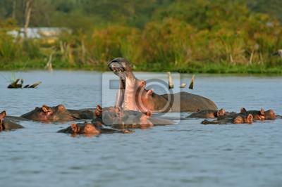 Hipopótamo Lago Naivasha