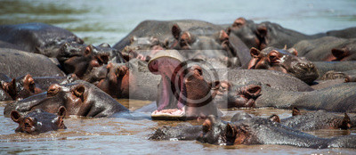 Hippo in water with wide open mouth. East Africa. Tanzania. Serengeti National Park