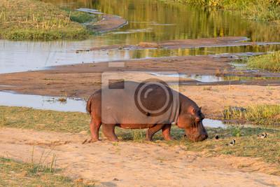 Hippopotamus grazing next to the Letaba River