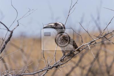 Hornbill gris