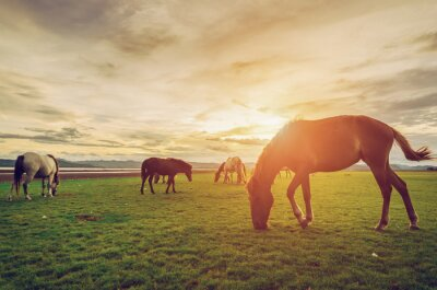 Póster Horses on the field grass with sunset vintage and retro style