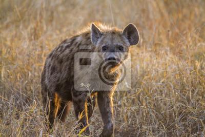 Hyaena manchada en el Parque Nacional Kruger, Sudáfrica; Especie Crocuta Crocuta Familia De Hyaenidae