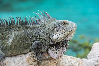 Póster Iguana en Playa Lagun, Curazao