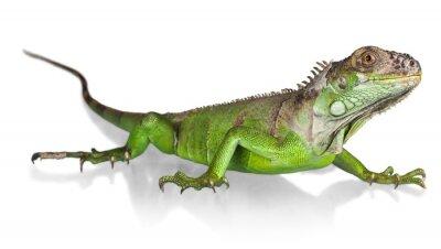 Póster Iguana, Lizard, Reptile.