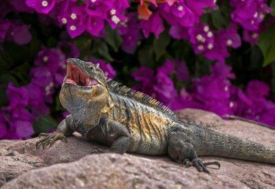 Póster Iguana verde (Iguana Iguana) tomando el sol en una roca