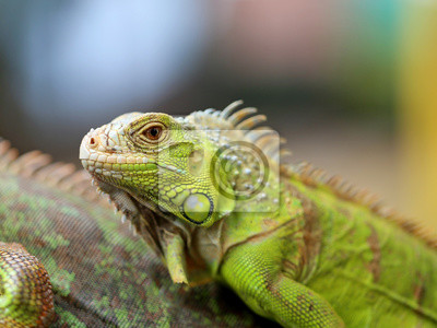 Póster Iguana verde lagarto