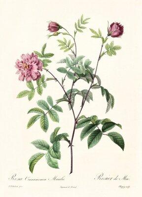 Póster Ilustración antigua de Rosa cimmamomea majalis. Creado por PR Redoute, publicado en Les Roses, Imp. Firmin Didot, Paris, 1817-24