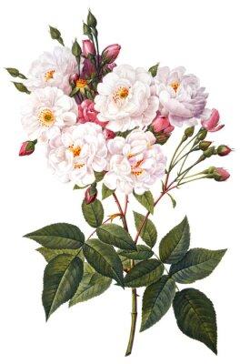 Póster Ilustración de la flor