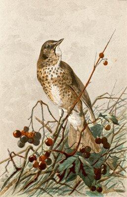 Póster Ilustración zoologique / Turdus philomelos / Grive musicienne