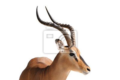 Impala aislado en blanco