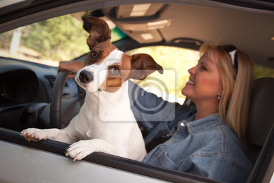 Jack Russell Terrier disfruta de un paseo del coche