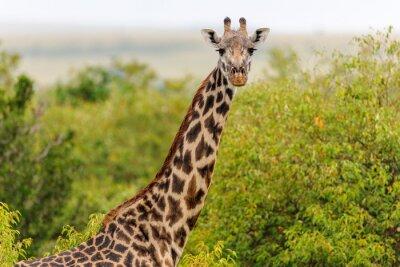 Póster jirafa
