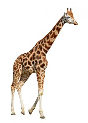 Póster jirafa aisladas sobre fondo blanco