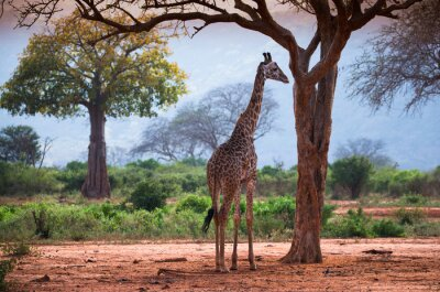 Jirafa, baobab, árbol