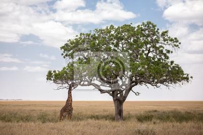 Jirafa comiendo de árbol en Serengeti en Tanzania
