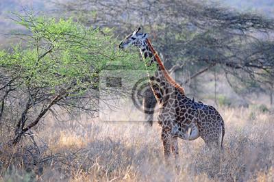 jirafa en el parque nacional de Tsavo de Kenia