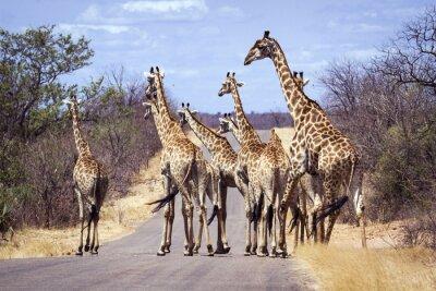 Póster Jirafa en el Parque Nacional Kruger