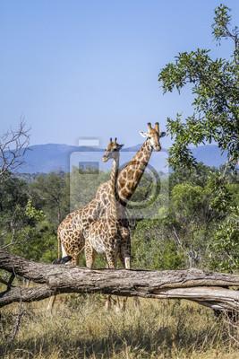 Jirafa en el Parque Nacional Kruger, Sudáfrica