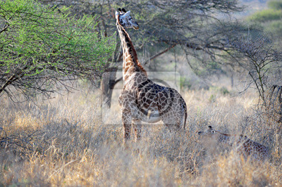 Jirafa en el salvaje de áfrica