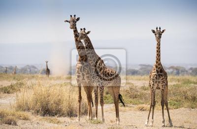 Jirafa en la sabana africana caliente