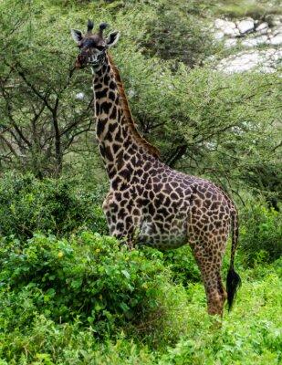 Póster Jirafa entre los árboles de Acacia en el Serengeti