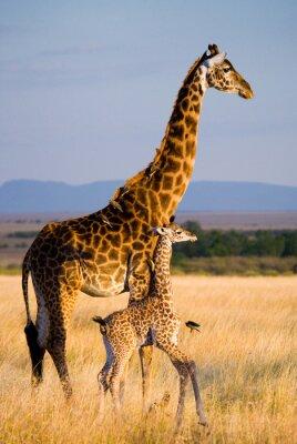 Jirafa femenina con un bebé en la sabana. Kenia. Tanzania. Este de Africa. Una excelente ilustración.