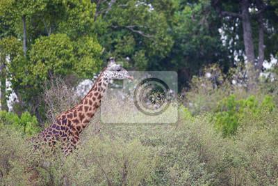 Jirafa que recorre a través de la selva