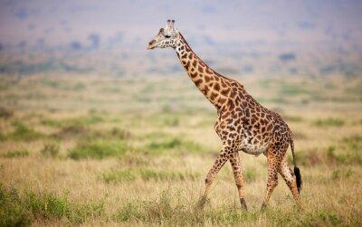 Póster Jirafa que recorre en Kenia