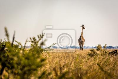 Jirafa salvaje en Savuti, Botswana, África