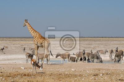 Jirafa, Springbok y cebras