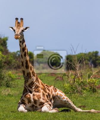 Jirafa tumbado en la hierba en la sabana. Uganda.