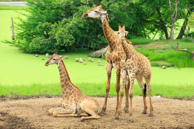 Póster jirafas