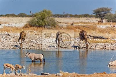 Jirafas en la charca. Reserva de la fauna africana, Etosha, Namibia
