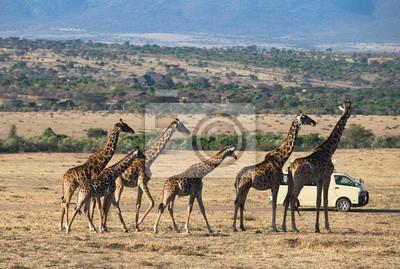 Jirafas en Parque Nacional Masai Mara Kenia