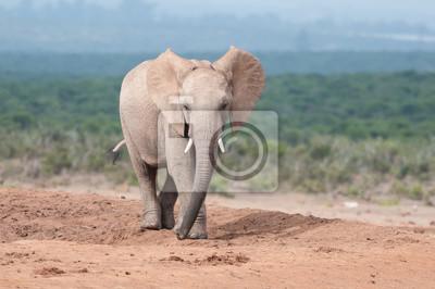 Joven, adulto, elefante, ambulante