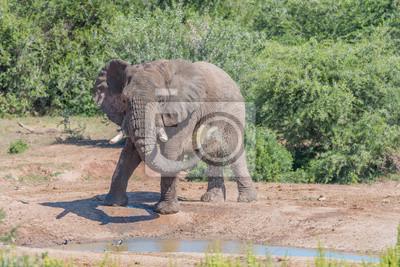 Joven, africano, elefante, tomar, fango, baño