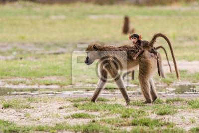 Joven babuino bebé en las madres de nuevo