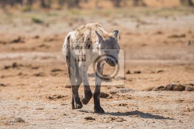 Joven, manchado, hiena, retrato