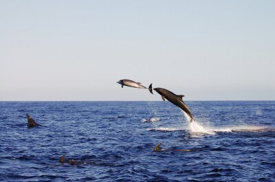 Póster Jumping Dolphins - Galápagos