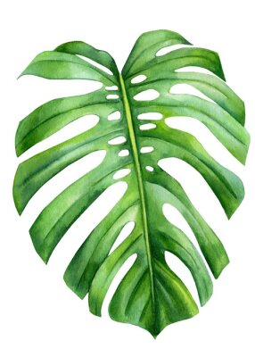 Póster Jungle green leaves of monstera creepers on an isolated white background, watercolor illustration, botanical painting