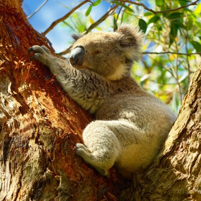 Póster Koalas a lo largo de Great Ocean Road, Victoria, Australia
